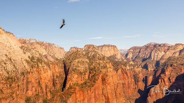 Angels Landing's resident Condor