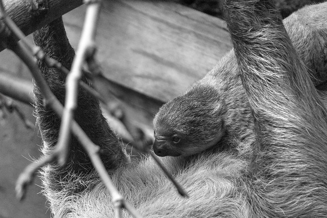 Sloth mother and baby, London Zoo, Regent's Park, Camden, London NW1, UK