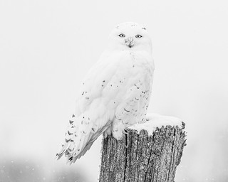 Male snowy owl on fencepost, black and white