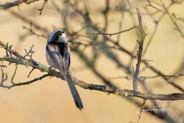 Mésange à longue queue - Aegithalos caudatus (Domaine Des Oiseaux, Ariège) 07 décembre 2019