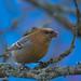 Pine Grosbeak, Tallbit (Pinicola enucleator)