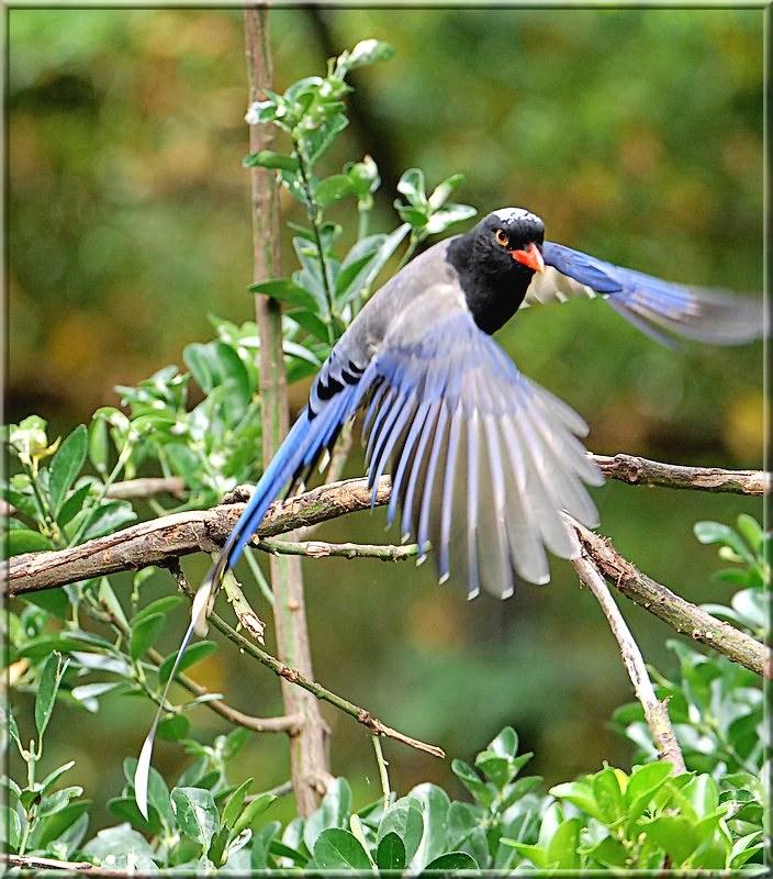 L'oiseau bleu 49200373453_9a8146fc43_c