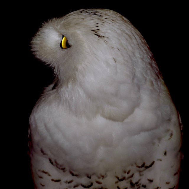 Harfang des neiges (bubo scandiacus) baillant