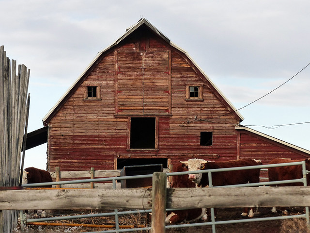 Barn and cow