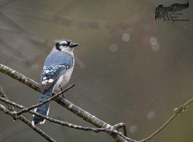 Rainy Day Blue Jay 12_10