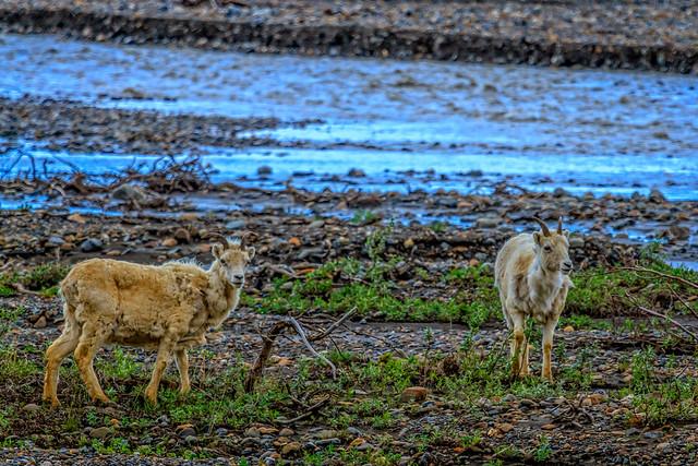 Denali Bighorn Sheep
