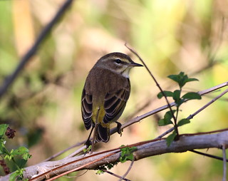 The PALM WARBLER is a common migrant that Winters in Polk County