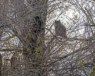 Great Horned Owl Pair