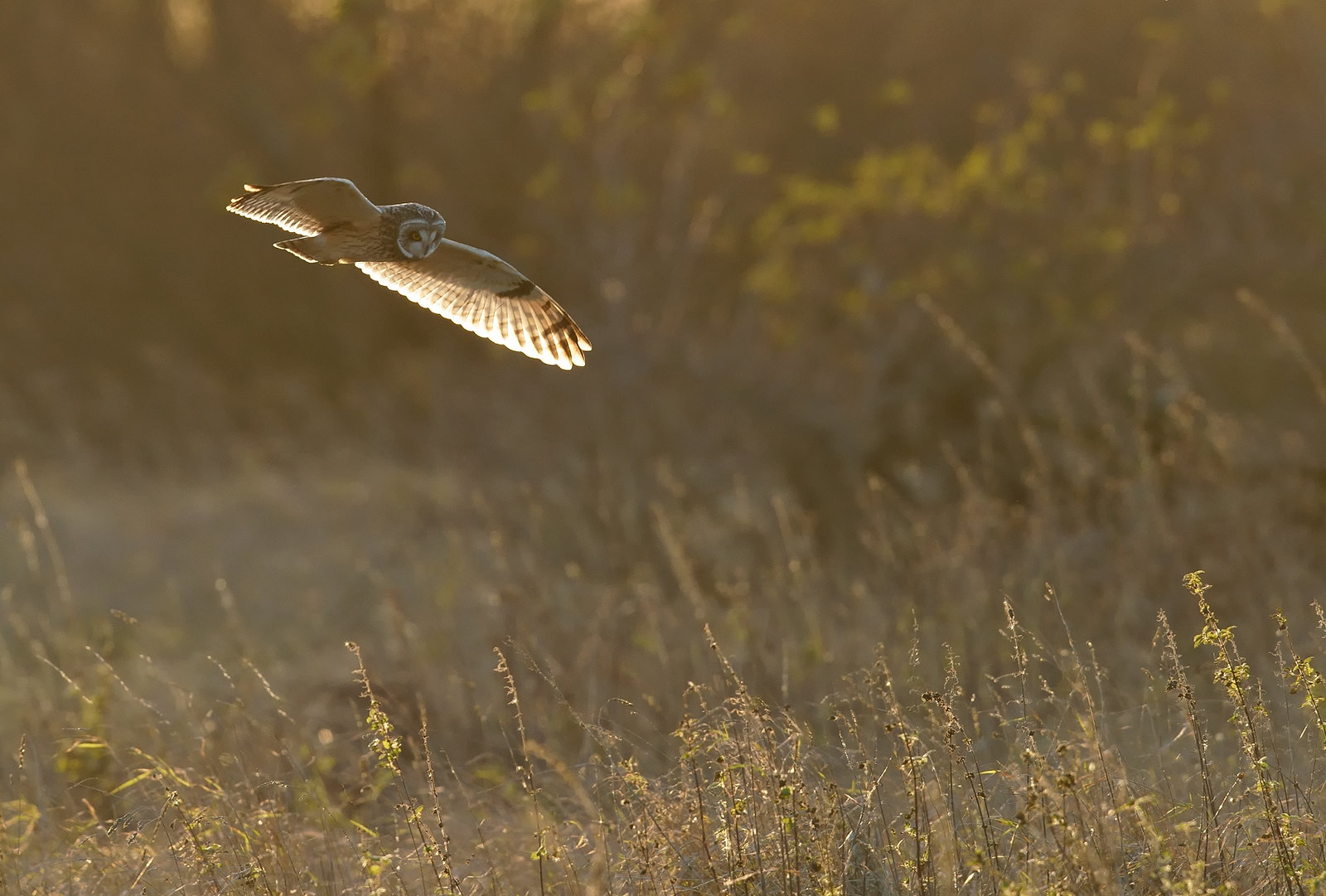 Short-eared Owl - working with the light, even though it was always against you.....