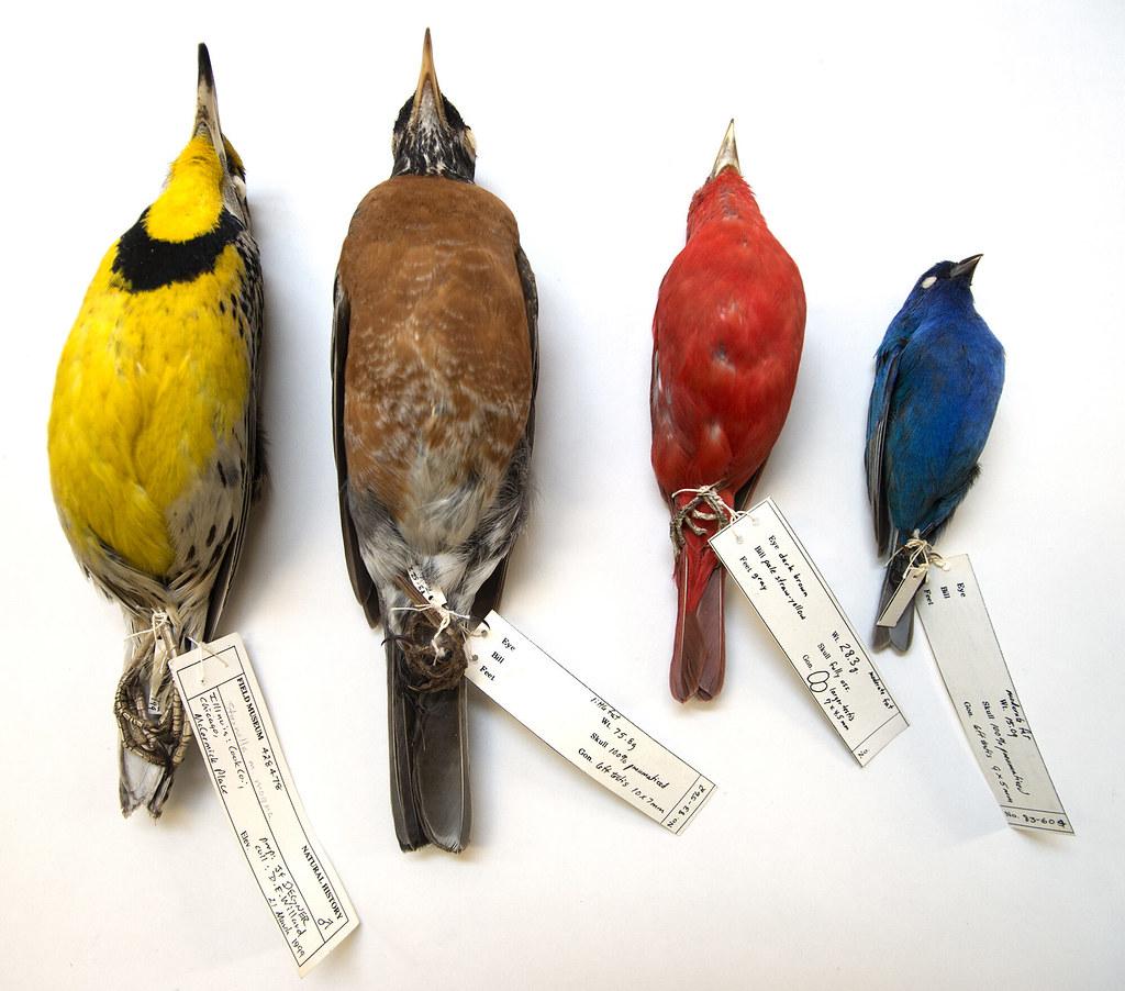 芝加哥麥考密克廣場的窗殺鳥類,標本現蒐藏在菲爾德自然史博物館(Field Museum)。圖片來源:密西根大學新聞稿/Field Museum, Karen Bean.