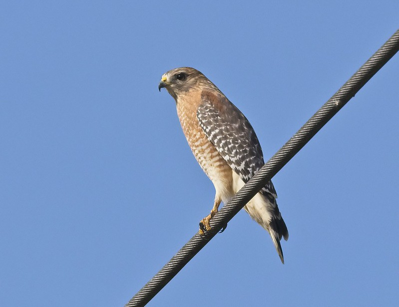 Red-Shouldered Hawk along Hwy 98 in Florida