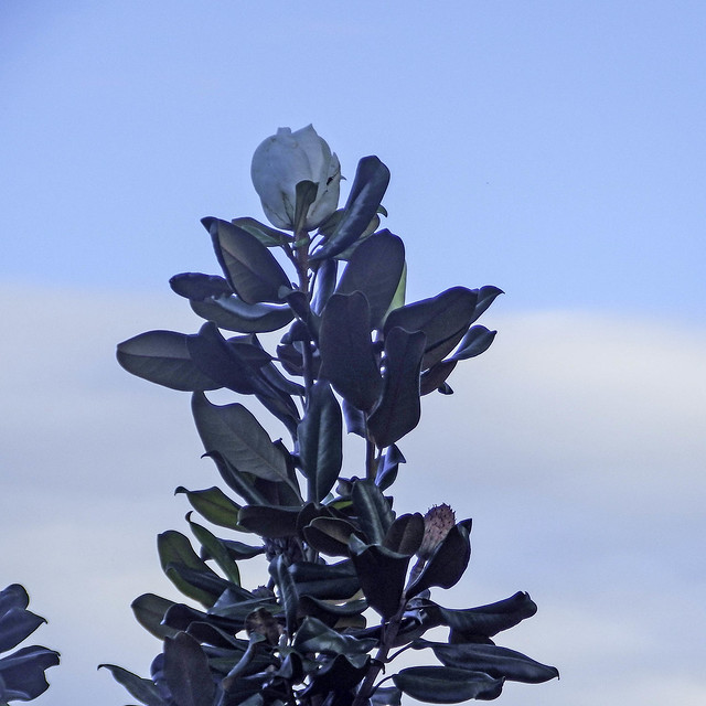 A Magnolia Tree in Bud