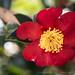 Yuletide_Camellia,_12.10.19