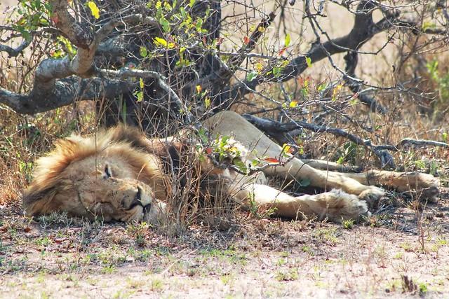León dormido no es peligroso