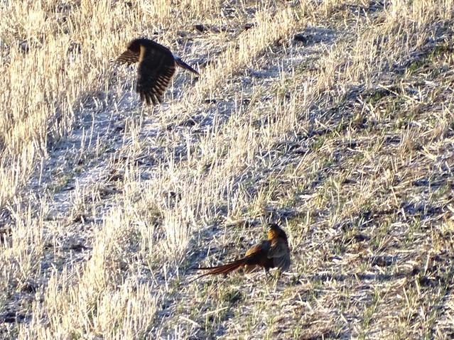 Dec10,2019 DSC03018 Harrier and Pheasant