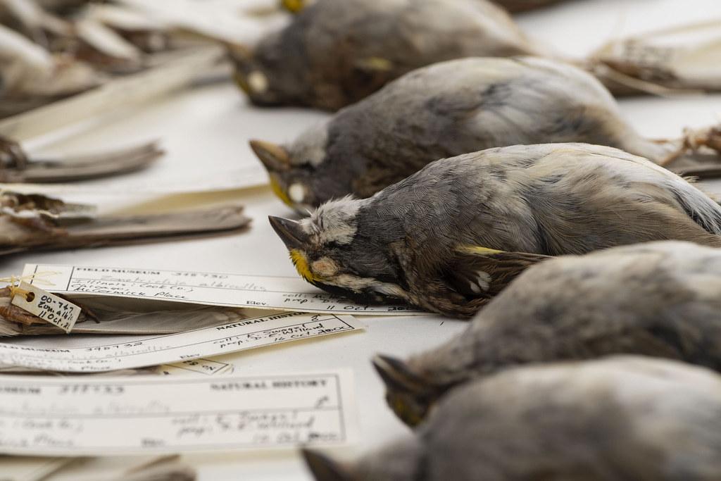 1978-2016年間,由密西根大學主導的大型研究計畫測量了7萬多件鳥類標本。圖片來源:密西根大學新聞稿/Roger Hart/University of Michigan Photography.