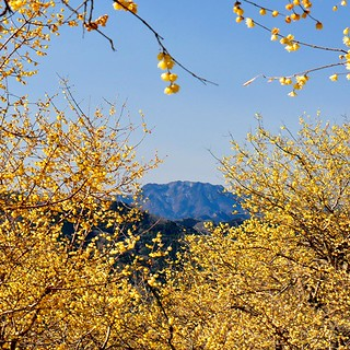 Wintersweet Garden spread across the summit of Mt. Hodosan in Nagatoro
