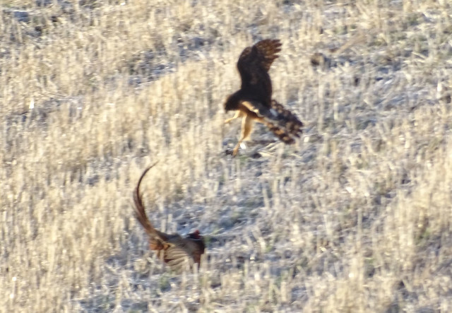 Dec10,2019 DSC03014 Female Northern Harrier with Male Ring-necked Pheasant