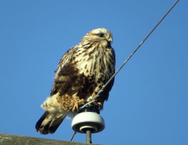 Dec10,2019 DSC03011 Rough-legged Hawk