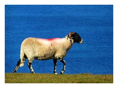 Cumbrian Herdwick