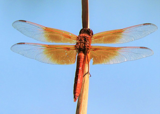 Flame Skimmer Dragonfly on a Reed