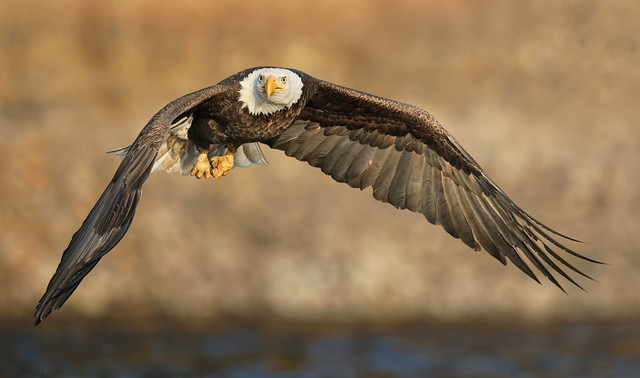 Bald Eagle  - After a Strike and a Miss