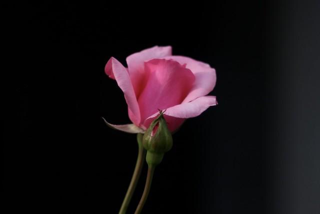 Pink Rose     Steinheil Culminar 85mm F 2.8