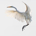 Great Egret coming in