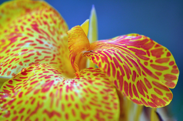 Canna Lily (Canna Picasso)