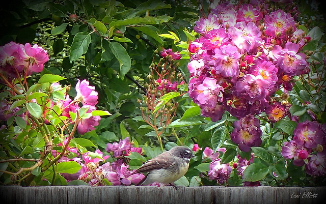 A Grey Fantail sitting  among the Roses