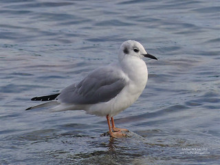 Bonaparte's Gull - Tsawwassen, BC | by Michael W Klotz - The Bird Blogger.com