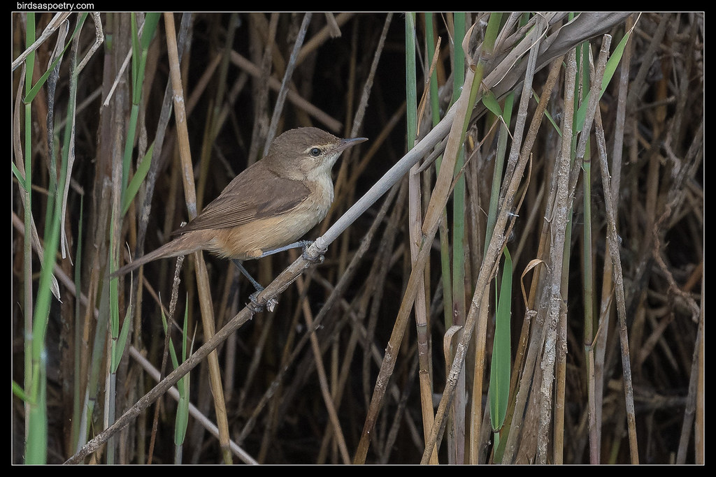 Australian Reed Warbler: In the Open