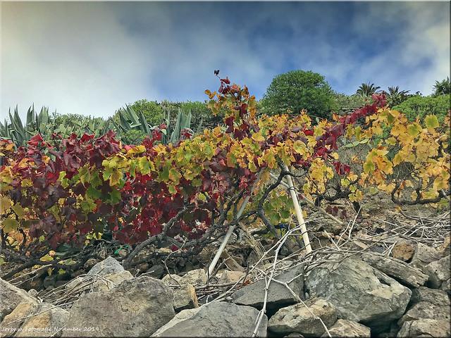 La Gomera 2019 - Weinanbau