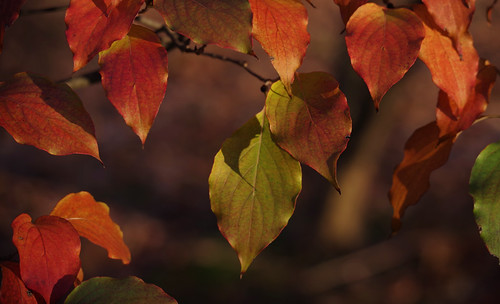 pentax k1ii k1markii hdpentaxda55300mmf4563edplmwrre ct connecticut newengland vbd leaves fallcolor fall autumn handheld 2019 fall2019 bokeh manualexposure trumbull nature koreandogwood shadowandlight