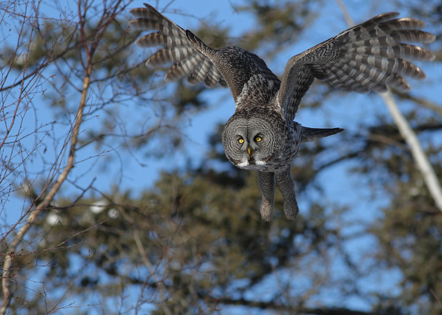 Great Gray Owl...#32