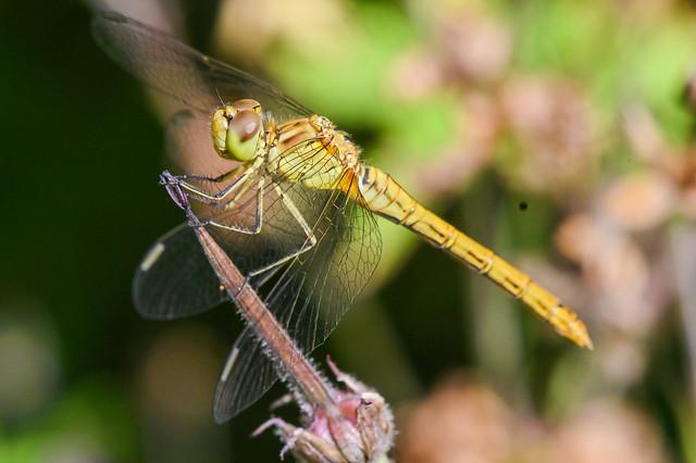 Libellule  --  Dragonfly