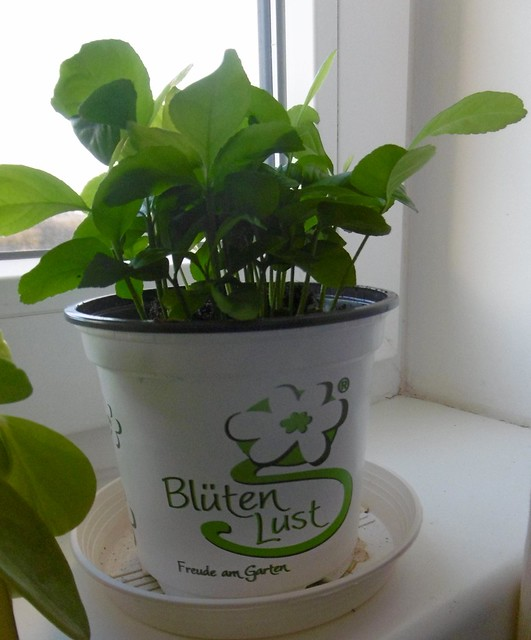 Zitronenplantage