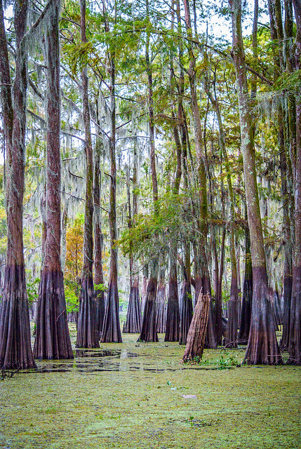 Tall Trees and Duckweed