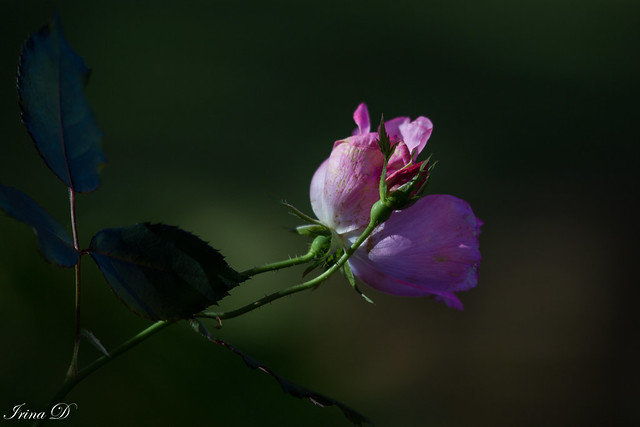 Late autumn rose