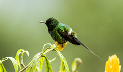 0P7A1023   Green Thorntail Hummingbird, Ecuador