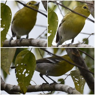433 - YELLOW-THROATED VIREO - Vireo flavifrons