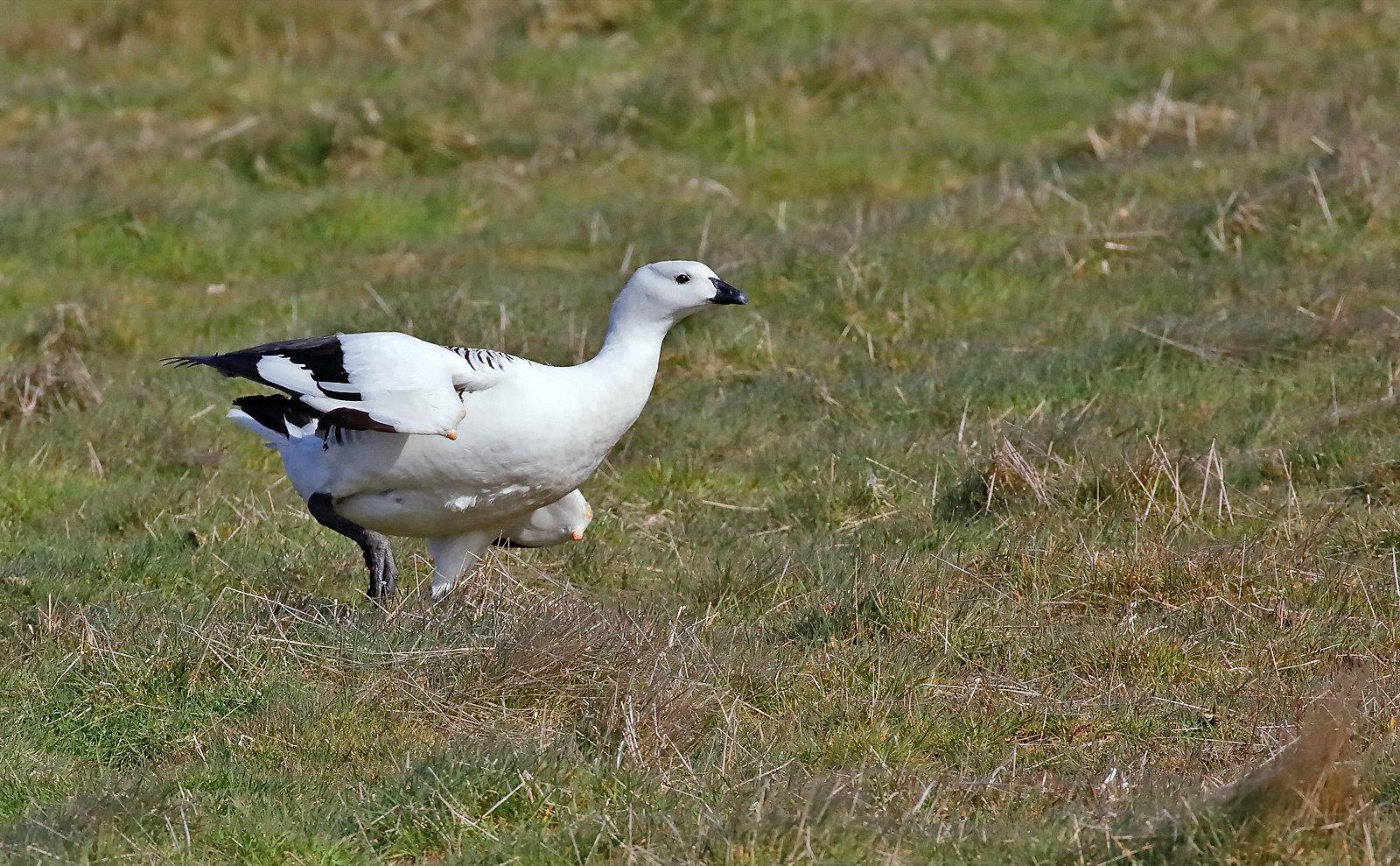 Upland Goose - male