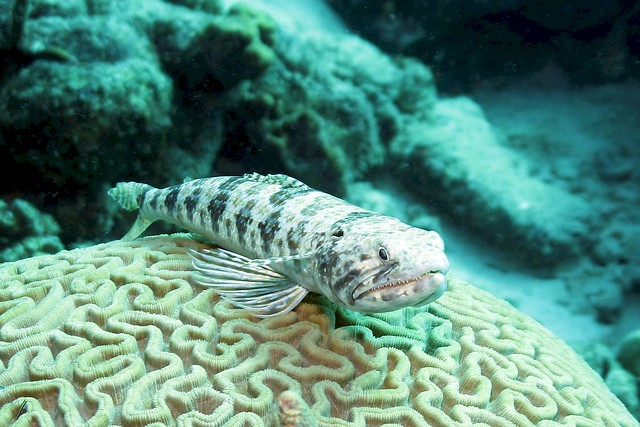 Sand Diver on a Brain Coral 1912053854w