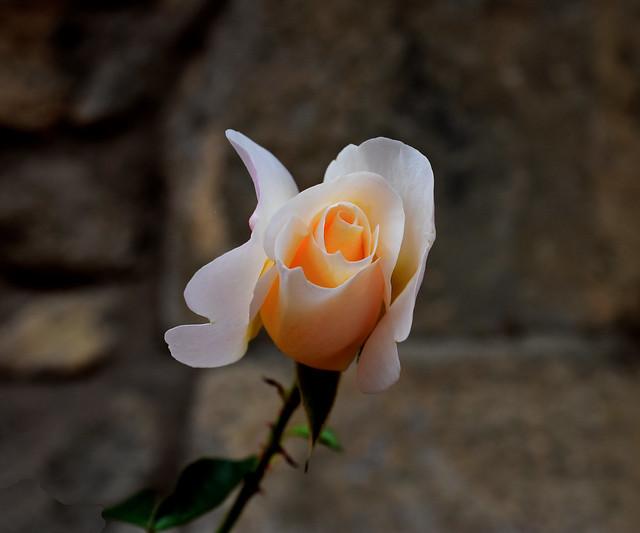 Les ultimes Roses del jardí