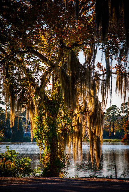 Spanish Moss in late Afternoon