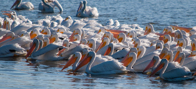 Pelican Flock