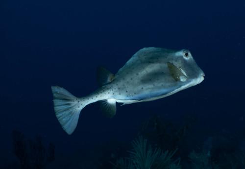 70_PC060032 trunkfish