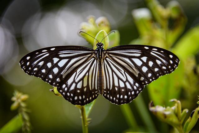 India - Kerala - Butterfly - 2300