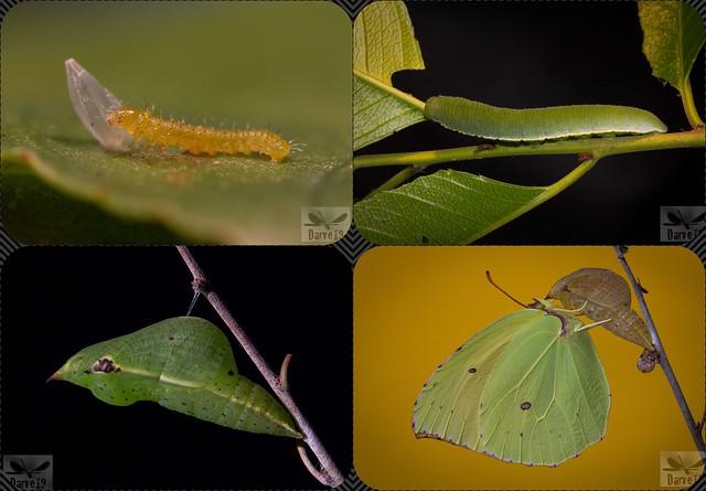 Gonepteryx cleobule spp. eversi