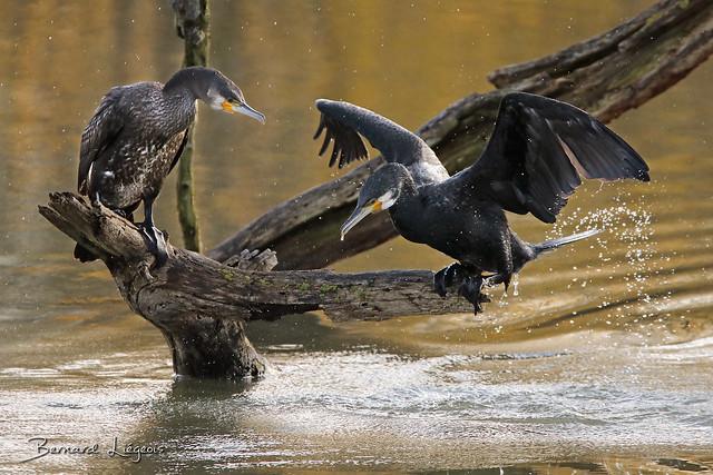 Phalacrocorax carbo   Grand Cormoran   Great Cormorant   Cormorán Grande   Kormoran